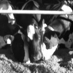Effects of Regrouping Dairy Cows (Vol 11-1)