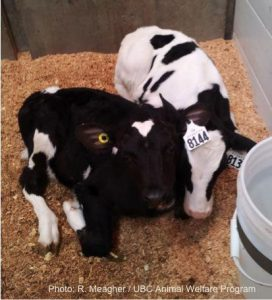 The individual matters: Personality traits in dairy cattle