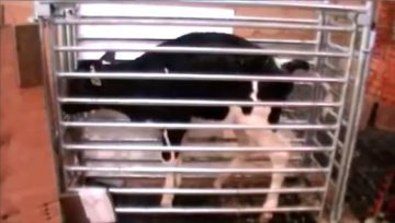 Click the image to watch a video of one of our toilet trained calves.