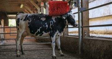 Cows are highly motivated to access a brush